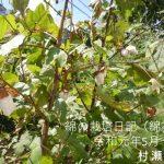 綿の栽培日記(綿花)